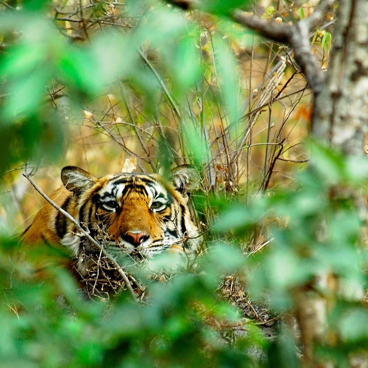 Tiger behind greenery