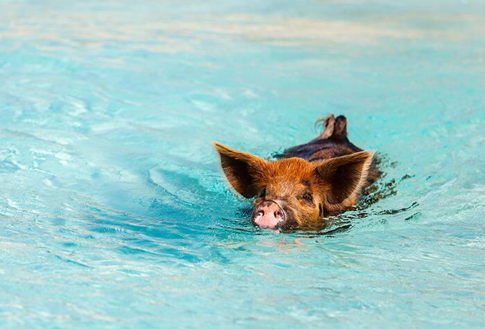 pigs_shorex_3