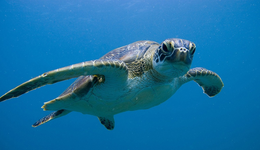 Diving with Turtles in Ningaloo Reef Australia