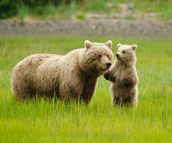 Grizzly Bears in park
