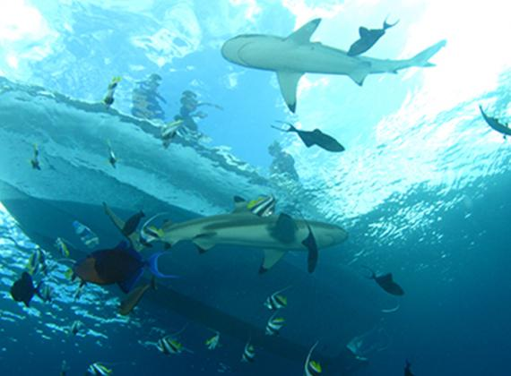 sharks under boat French Polynesia
