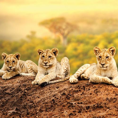 africa-kenya-lion-cubs-500