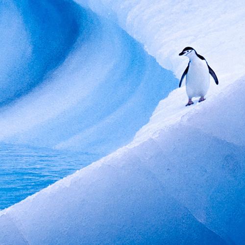 antarctica-iceberg-chinstrap-penguin-500