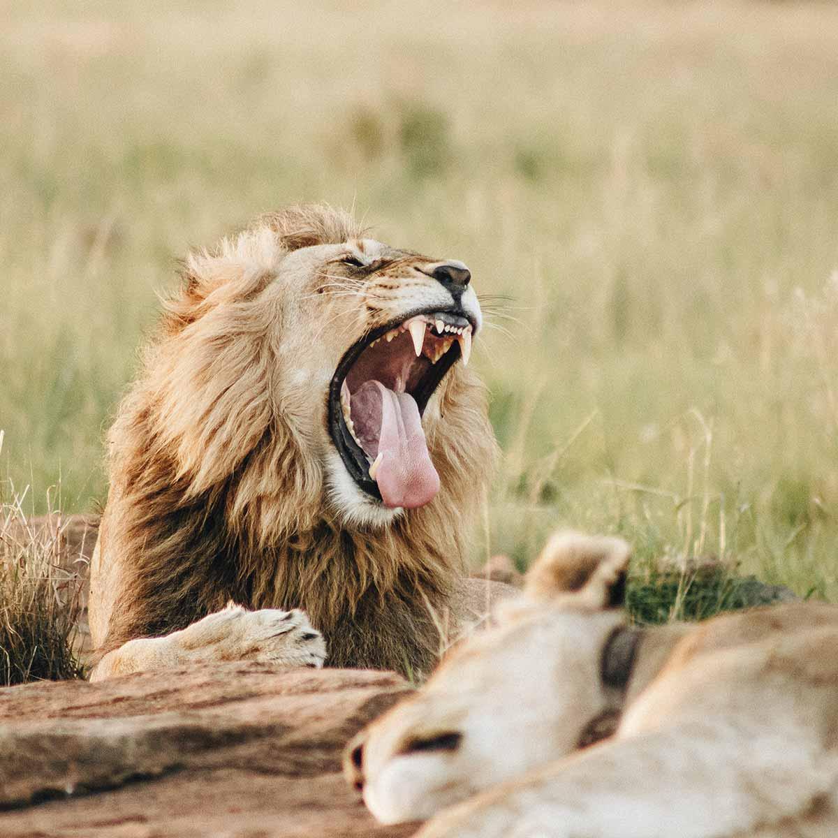 big5-lion-1200